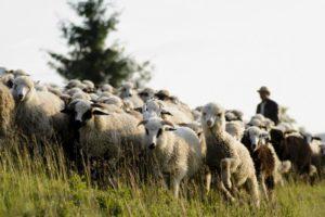 Tunsul oilor, o practica necesara
